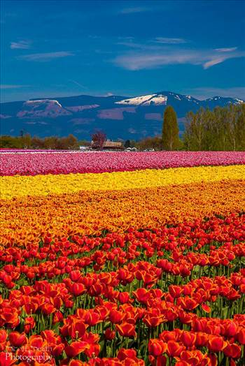 Tulips with a View - From the Skagit County Tulip Festival in Washington state.
