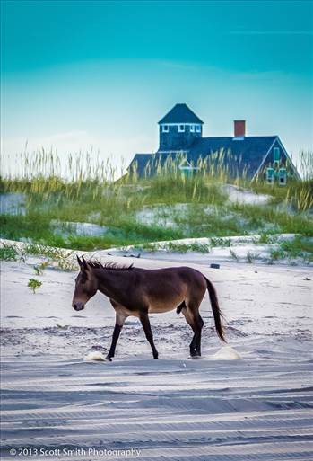 Wild Horses of Currituck by D Scott Smith