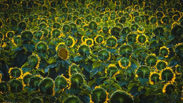 Sunflower Sunrise II by D Scott Smith
