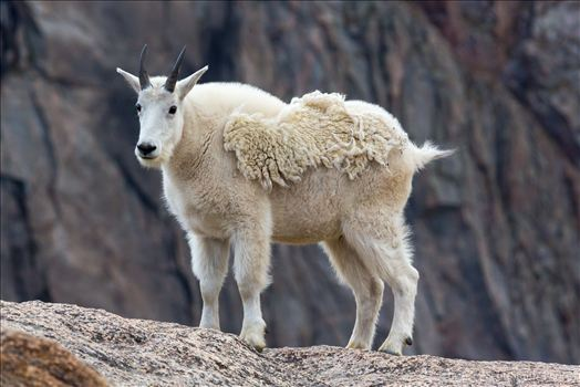 Mt Evans-Mountain Goat -