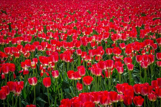Sea of Red Tulips - From the Skagit County Tulip Festival in Washington state.