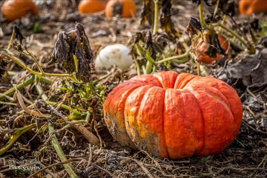 Pumpkins 4 - Anderson Farms, Erie Colorado.