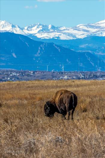 Bison 2 - The bison with Rocky Flats and the wind generators near Boulder Colorado in the distance.