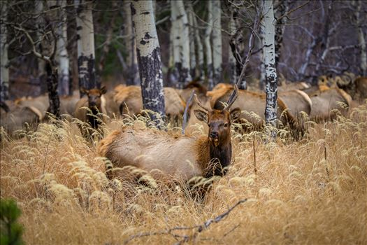 Sunday Elk No 01 by D Scott Smith