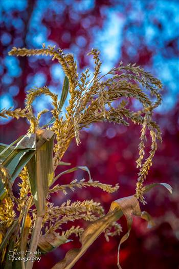 Fall Grasses by D Scott Smith