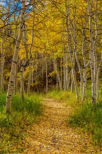 Rim Trail Aspens - Beautiful aspens showing their fall colors along Rim Trail in Snowmass