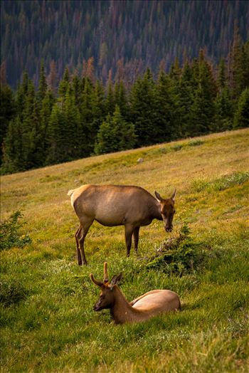 Elk at Sunset by D Scott Smith