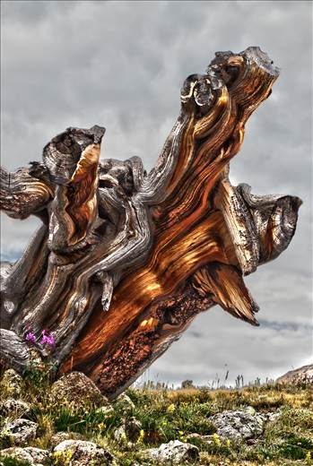 Ancient Tree - An ancient tree stump near Mt Evans, Colorado.