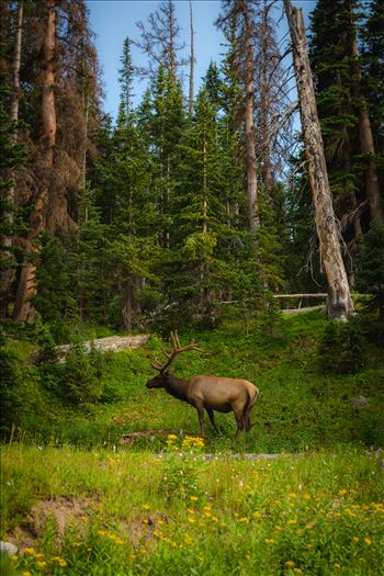 Elk in the Wild by D Scott Smith
