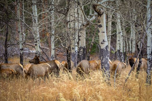 Sunday Elk No 03 by D Scott Smith