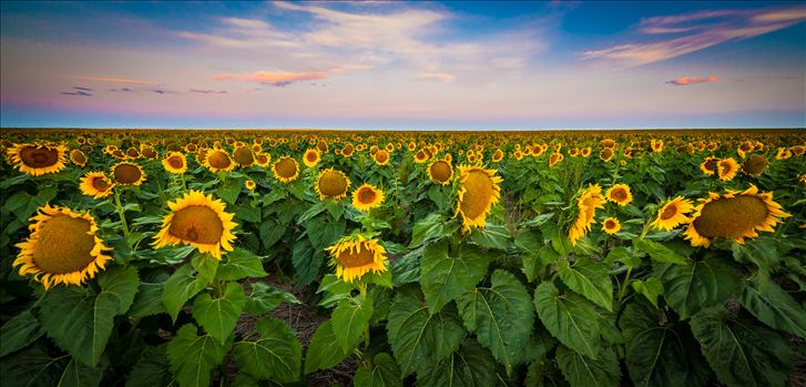 Colorado Sunflower Sunrise by D Scott Smith