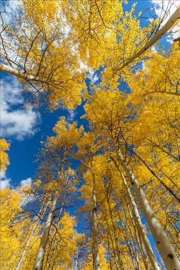 Aspens to the Sky No 1 by D Scott Smith