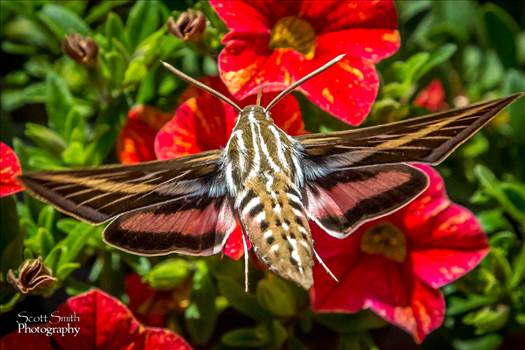 Hawk Moth by D Scott Smith