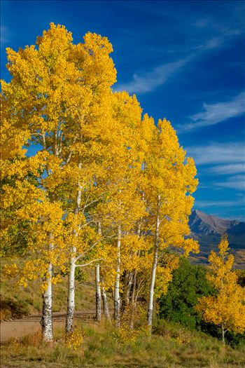 Silent Aspens - Aspens line a mountain pass on Last Dollar Road, Telluride.