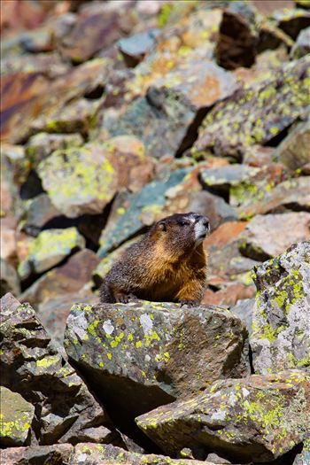 Ophir Pass Marmot - A marmot looks for snacks on Ophir Pass, near Ophir Colorado.